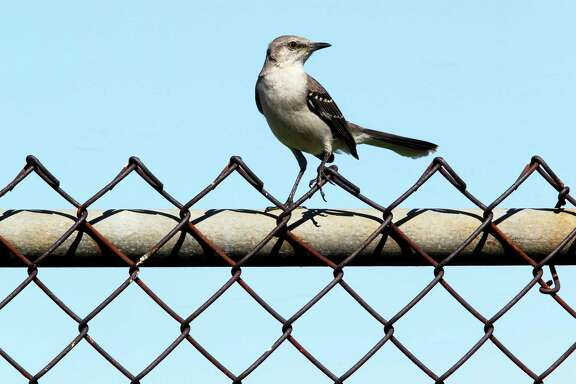 A mockingbird sits on a fence at the old Robert E. Lee elementary school Wednesday, April 25, 2012, in Houston.   ( James Nielsen / Chronicle )