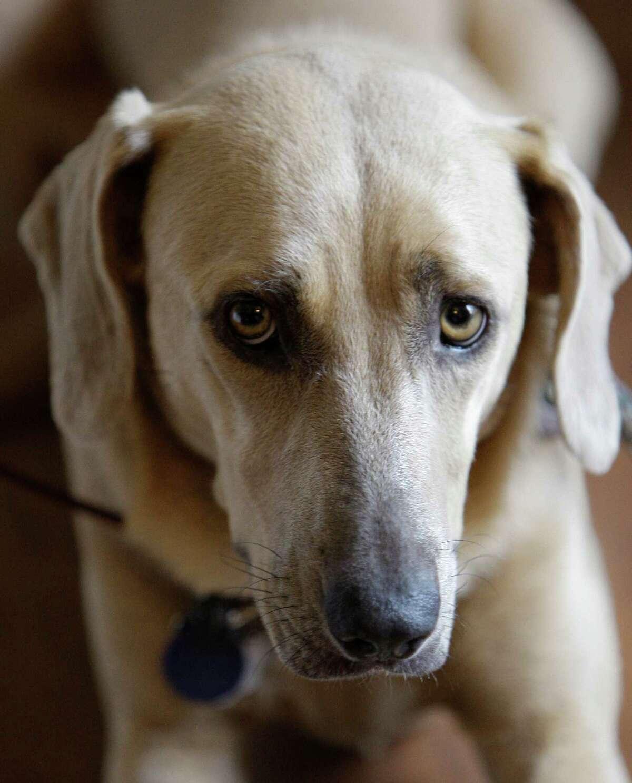 Dog: Blue Lacy