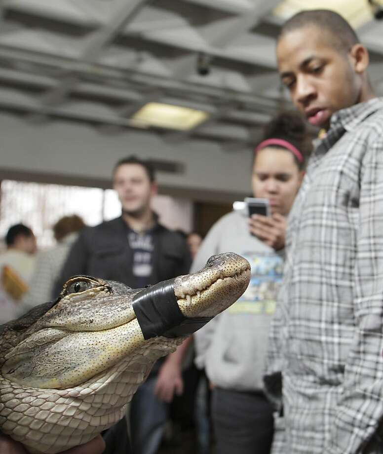 'How strong is that electrical tape?' for example: Students can ask questions about Bart the alligator during a wildlife program at State University of New York Orange in Middletown. Photo: Tom Bushey, Associated Press