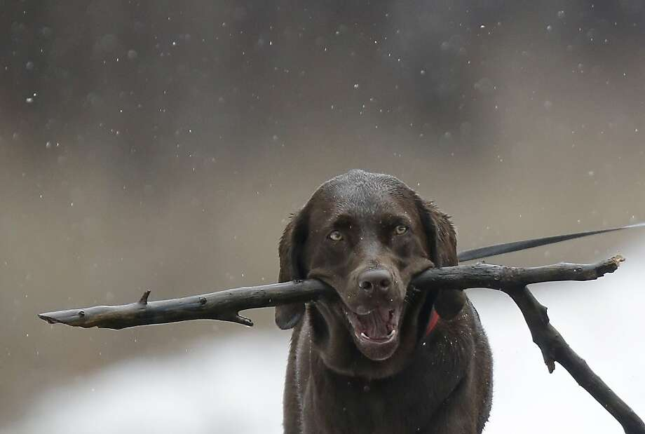 Hey, Dad! Look what I found:Chloe is hoping to inspire a game of fetch with her owner, Dave Carcaterro, in Clarence, N.Y. Photo: David Duprey, Associated Press