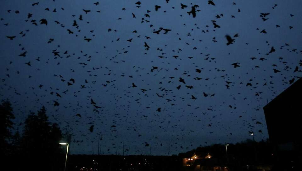 In a nightly ritual, tens of thousands of crows gather at the University of Washington, Bothell camp