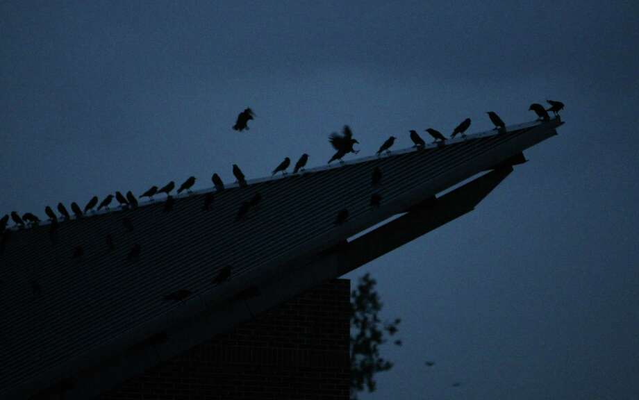 In a nightly ritual, tens of thousands of crows gather at the University of Washington, Bothell campus. The crows gather there and then swoop down into an adjacent restoration area where they find protection among willow branches. The crows come to roost there from Seattle, the Snohomish valley, and from as far away as Gold Bar and Sultan. Photographed on Wednesday, February 27, 2013. Photo: JOSHUA TRUJILLO / SEATTLEPI.COM