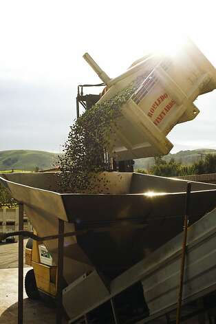 Olives going into the press, above, in Sonoma. Photo: Craig Lee, Special To The Chronicle