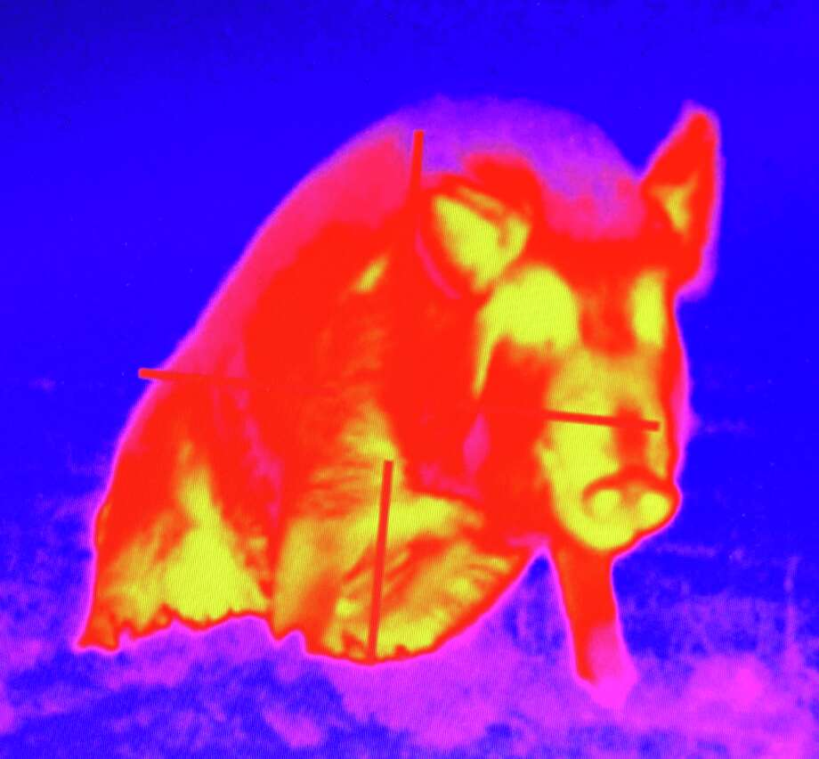 A night-vision scope's thermal image of a big feral hog — note the visible crosshairs — gives the advantage to hunters when they are attempting to thin out the damaging pests. Photo: Courtesy Photo