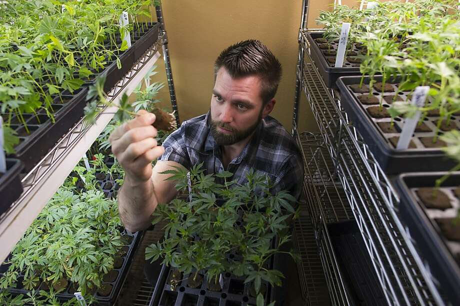 MedMar Healing Center CEO Doug Chloupek examines a young marijuana plant. Below: a marijuana bud. Photo: David Paul Morris, Bloomberg