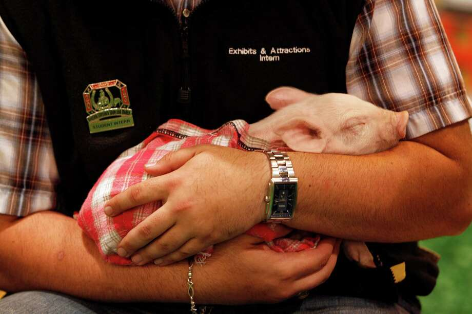 A piglet at the 2013 Lil' Rustlers Rodeo. Photo: Johnny Hanson, Houston Chronicle / © 2013  Houston Chronicle