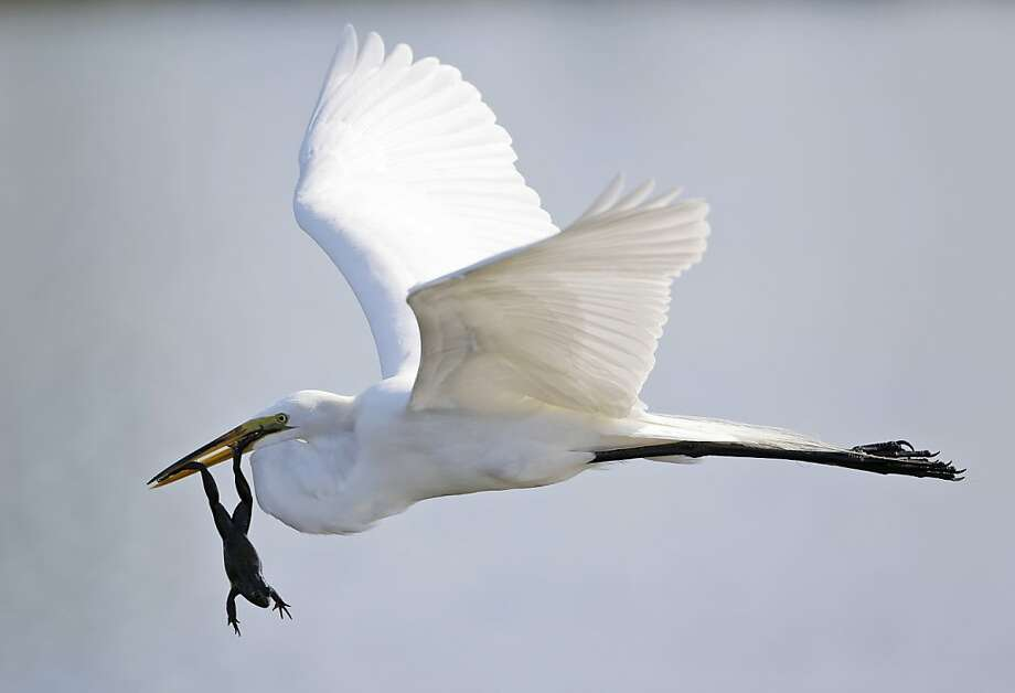 A great egret carries off a frog near the 11th fairway during the first round of the Honda Classic golf tournament, Thursday, Feb. 28, 2013 in Palm Beach Gardens, Fla. Photo: Wilfredo Lee, Associated Press