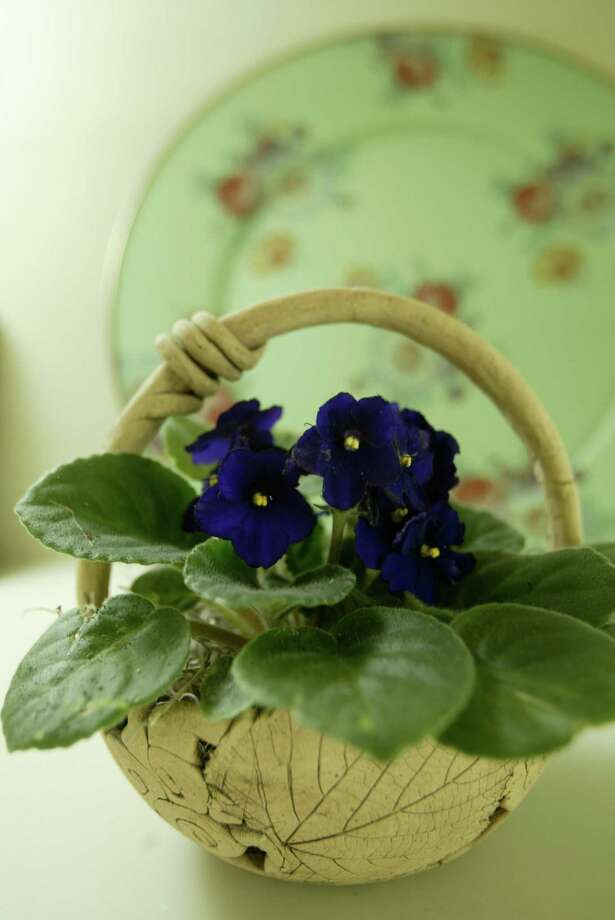 African violets are especially suitable to life indoors. Find yours at the Spring Branch African Violet Club sale this weekend. Photo: Kevin Fujii, Staff Photographer / Houston Chronicle