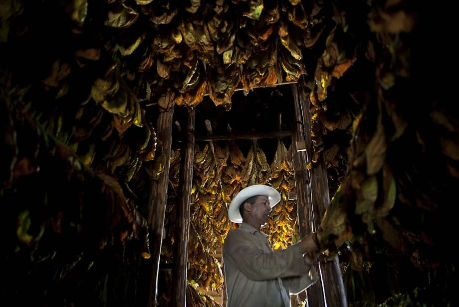 In this Monday, Feb. 25, 2013 photo, farmer Eulogio Montesino, 52, checks tobacco leaves in the western province of Pinar del Rio, Cuba.  Cigar enthusiasts from around the world come to Cuba during the Cigar Festival annual celebration to visit tobacco farms and factories and savor new cigar brands. Photo: Ramon Espinosa, Associated Press