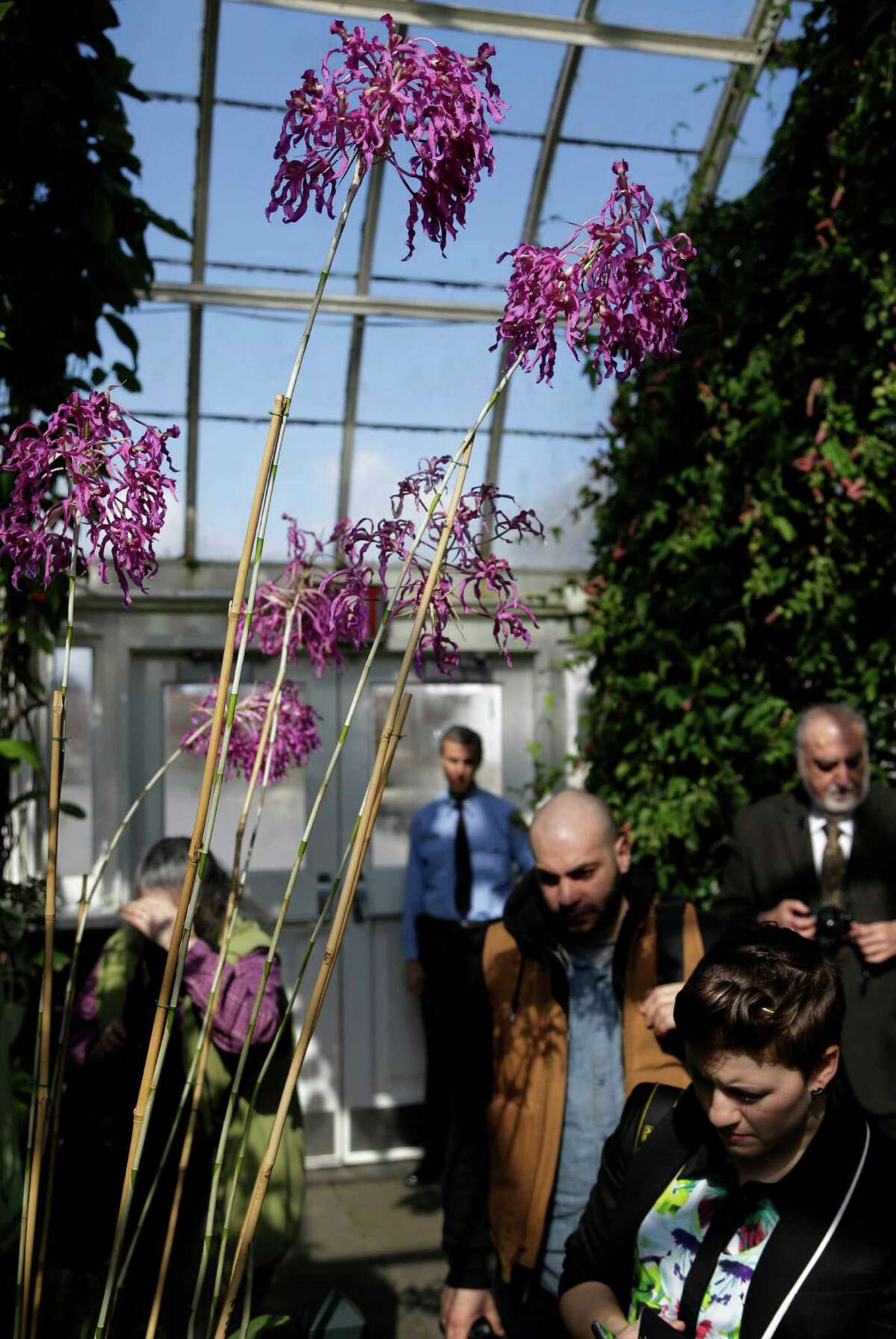 Visitors walk under Laelia superbiens during a press preview of the orchid show at the New York Botanical Gardens in New York, Thursday, Feb. 28, 2013. The botanical gardens will open their annual orchid show to the public on March 2, 2013