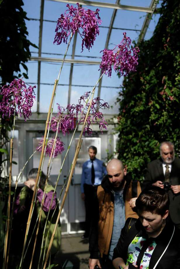 Visitors walk under Laelia superbiens during a press preview of the orchid show at the New York Botanical Gardens in New York, Thursday, Feb. 28, 2013. The botanical gardens will open their annual orchid show to the public on March 2, 2013 Photo: Seth Wenig, AP / AP
