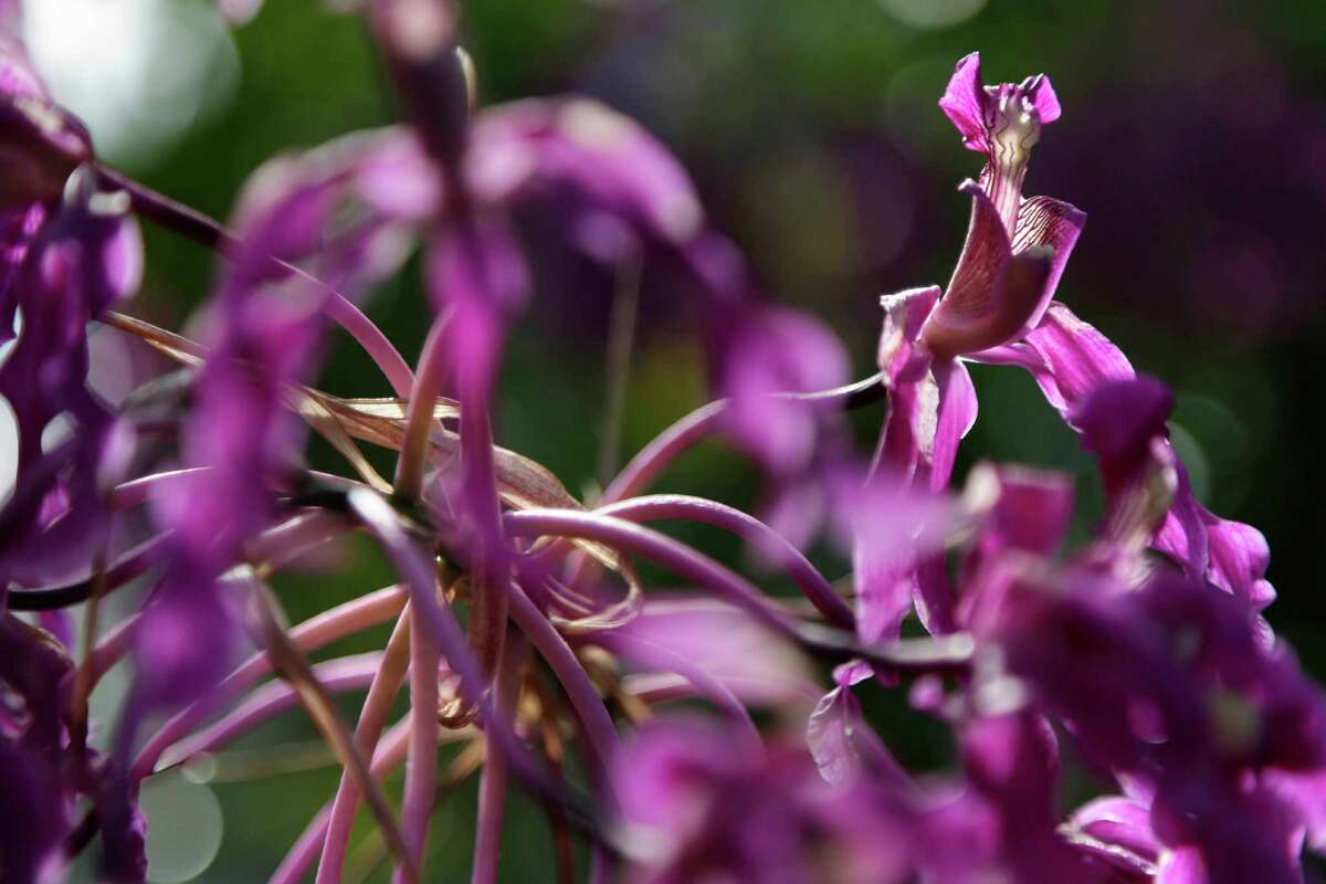 Laelia superbiens are displayed at the New York Botanical Gardens in New York, Thursday, Feb. 28, 2013. The botanical gardens will open their annual orchid show to the public on March 2, 2013
