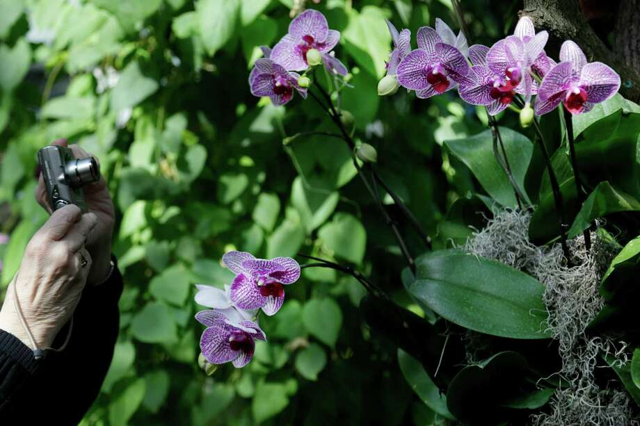 A woman takes pictures of Moth orchids during a press preview of the orchid show at the New York Botanical Gardens in New York, Thursday, Feb. 28, 2013. The botanical gardens will open their annual orchid show to the public on March 2, 2013 Photo: Seth Wenig, AP / AP