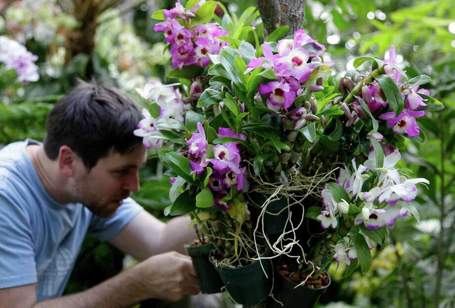 Conservatory manager Christian Primeau readies a display of orchids at the New York Botanical Garden in New York, Thursday, Feb. 28, 2013. The botanical gardens will open their annual orchid show to the public on March 2, 2013 Photo: Seth Wenig, AP / AP