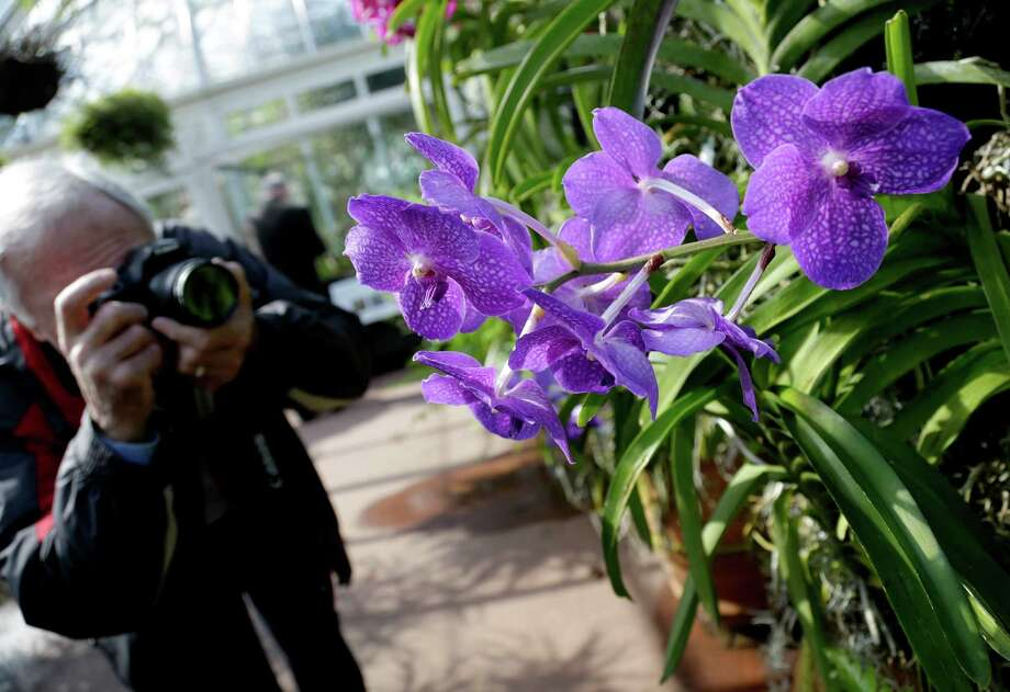 A man takes a picture of Vanda orchids during a press preview of the orchid show at the New York Botanical Gardens in New York, Thursday, Feb. 28, 2013. The botanical gardens will open their annual orchid show to the public on March 2, 2013 Photo: Seth Wenig, AP / AP