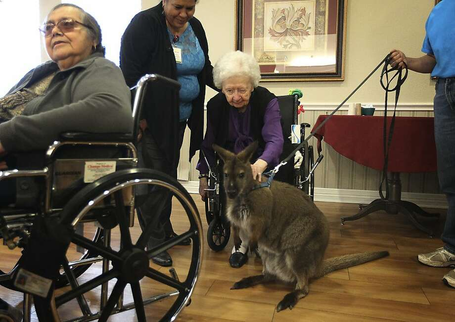 If you think the joint's hopping now at the Mesa Vista Inn Health Center in San Antonio, wait until they take the cuffs off the wallaby. Happy Tails Entertainment brings its animals to the center about once a month to cheer up the seniors. Photo: Kin Man Hui, San Antonio Express-News