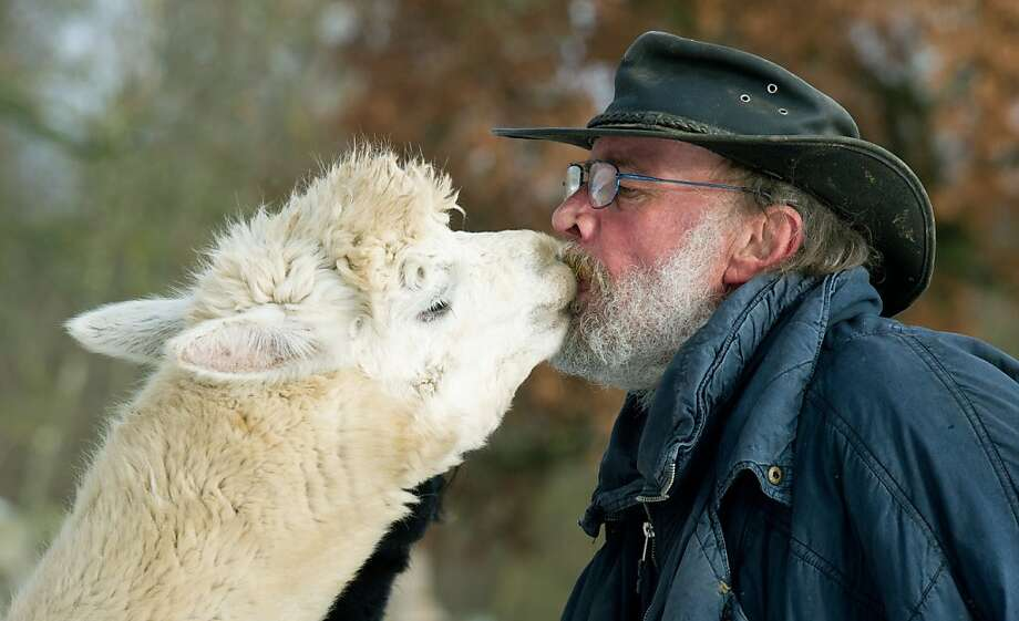 Gray beards turn me on:In Arendsee, Germany, a female alpaca leans over and plants a wet one right on farmer Bernd Funke's kisser. Funke and his wife have been breeding alpacas since 2005. Photo: Patrick Pleul, AFP/Getty Images
