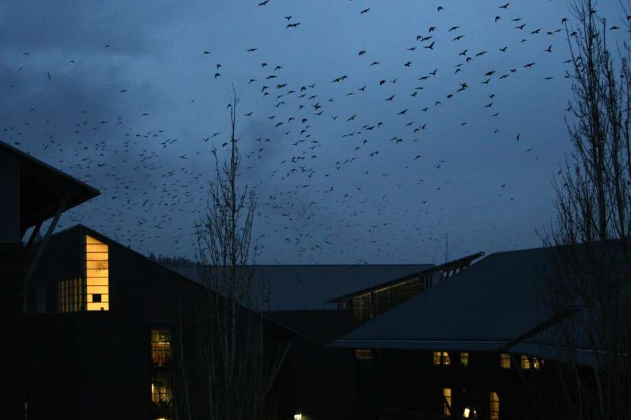 In a nightly ritual, tens of thousands of crows gather at the University of Washington, Bothell campus. The crows gather there and then swoop down into an adjacent restoration area where they find protection among willow branches. The crows come to roost there from Seattle, the Snohomish valley, and from as far away as Golbar and Sultan. Photographed on Wednesday, February 27, 2013. (Joshua Trujillo, seattlepi.com)