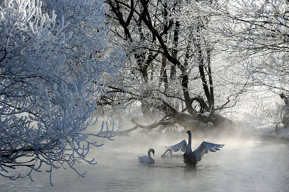 Winter waterfowl wonderland: Swans swim by ice-encased trees along the Usiazha River about 30 miles north of Minsk, Belarus. Photo: Viktor Drachev, AFP/Getty Images