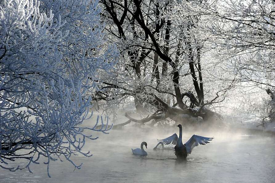 Winter waterfowl wonderland: Swans swim by ice-encased trees along the Usiazha River about 30
