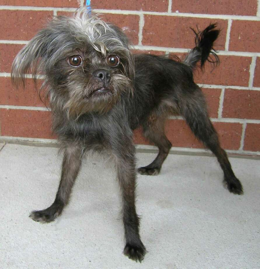 Rags, a 3.5 year old Affenpinscher mix  was turned in as a stray. OLYMPUS DIGITAL CAMERA