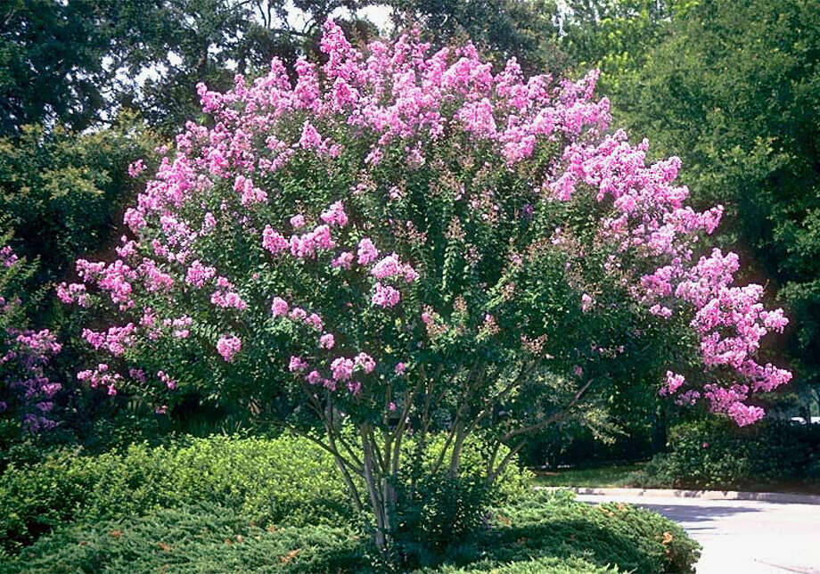 Crape myrtles come in a variety of sizes and colors to complement any sunny area of a landscape. Photo: Horticopia