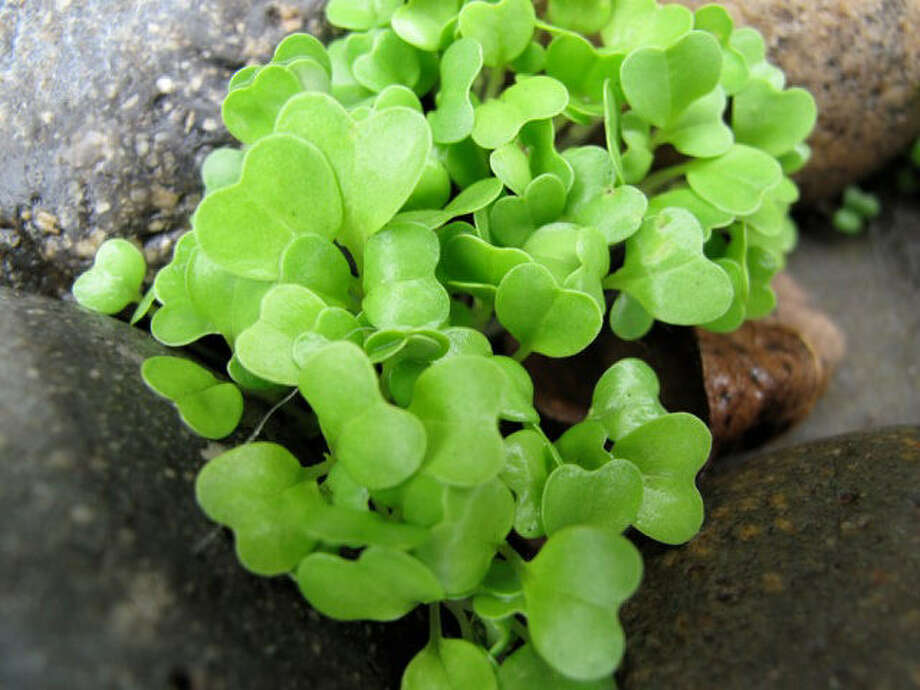 Mizuna, an Asian mustard, is a mild-flavored microgreen. Photo: Gil Frishman / Sproutpeople
