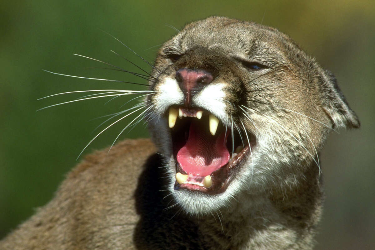 The agency killed 30 mountain lions in the 2013 budget year. See the other animals eradicated by the agency and read more about the reasoning and cost behind this program in Mike Ward's investigation on HoustonChronicle.com.