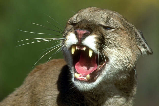 Mountain lions are encoun- tering people more often, and in the wake of several incidents in which the cougars were shot, the state has proposed new policies. Photo: California Dept. Of Fish And Gam, AP