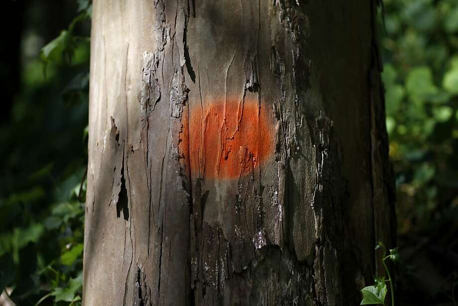 An orange dot marks a tree that is considered hazardous in the UCSF Mount Sutro Open Space Reserve on Tuesday, February 26, 20123 in San Francisco, Calif. Dead or dying tress are considered hazardous if they pose the risk of falling onto people or other trees. Photo: Beck Diefenbach, Special To The Chronicle