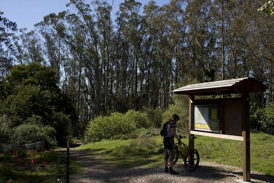 UCSF plans to significantly thin out some of the eucalyptus trees that tower over Mount Sutro. Photo: Beck Diefenbach, Special To The Chronicle
