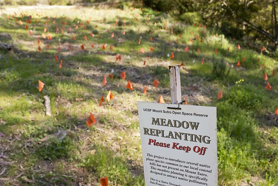 A meadow planted by the Sutro Stewards is seen at the UCSF Mount Sutro Open Space Reserve on Tuesday, February 26, 20123 in San Francisco, Calif. Photo: Beck Diefenbach, Special To The Chronicle