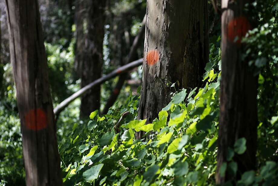 Orange dots mark trees that are  considered hazardous in the UCSF Mount Sutro Open Space Reserve on Tuesday, February 26, 20123 in San Francisco, Calif. Dead or dying tress are considered hazardous if they pose the risk of falling onto people or other trees. Photo: Beck Diefenbach, Special To The Chronicle