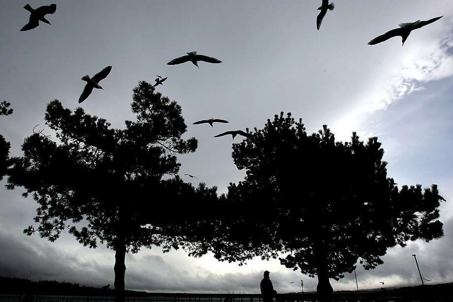 Ric Mosolf of Silverdale, Wash.  watches the seagulls hover in the wind at Silverdale Waterfront Park on Thursday, Feb. 28, 2013. Photo: Larry Steagall, Associated Press
