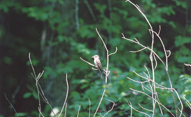 Least Flycatcher, taken at Connecticut Audubon Society's Larsen Sanctuary in Fairfield. Photo: Contributed Photo