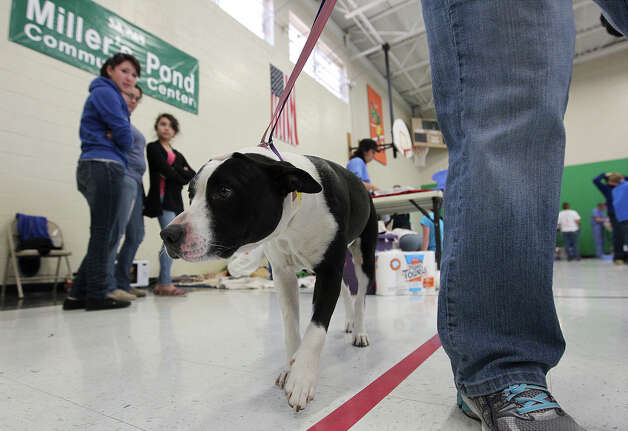"A dog named Oreo gingerly walks away after receiving a spaying procedure at SNIPSA's The Big Fix free spay and neuter clinic at Miller's Pond Community Center on Saturday, Mar. 2,  2013. Over 250 pets were taken in at the clinic that was co-sponsored by the city and by SNIPSA. Veterinarians, vet techs and volunteers converted a gym into a make-shift animal surgical hospital taking in cats and dogs from the area. Veterinarians Shannon and Bob Espy started the program in 2005 in San Antonio. More clinics are planned for the year and pet owners can find information from SNIPSA.org or through the city's Animal Care Services website. The next clinic is planned for April and July according to Espy. SNIPSA's mission is to ""rescue, rehabilitate and re-home adoptable animals"" and ""encourage responsibility within the pet owning population"" according to the website. Photo: Kin Man Hui, San Antonio Express-News / © 2012 San Antonio Express-News"