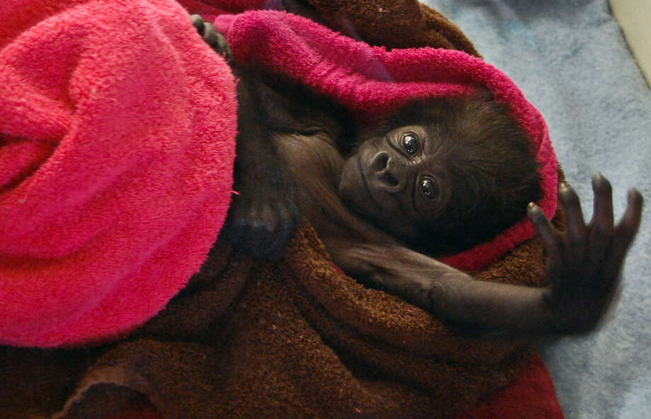 The baby gorilla now has a name, Gladys Stones. Here's Gladys at 17 days old, a couple of weeks ago, at the Gladys Porter Zoo in Brownsville. She has a new home at the Cincinnati Zoo, where there are two female gorillas who could serve as potential surrogate mothers. Photo: Christian Rodriguez / Brownsville Herald