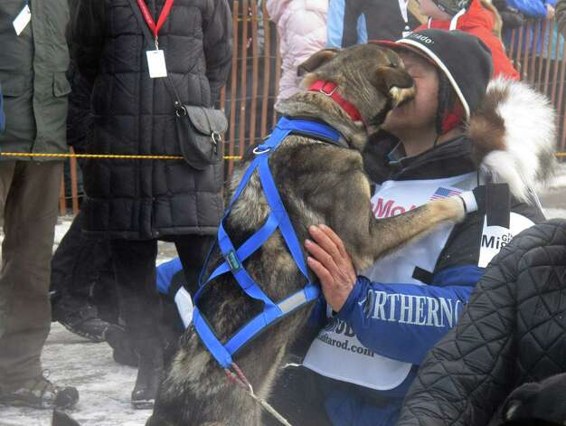 A lead dog licks four-time champion Martin Buser during the ceremonial start of the 2013 Iditarod Trail Sled Dog Race in Anchorage, Alaska on Saturday, March 2, 2013. The race, which will take mushers and dog teams about a thousand miles across the Alaska wilderness, starts Sunday, March 3, 2013, in Willow, Alaska. (AP Photo/Mark Thiessen) Photo: Mark Thiessen