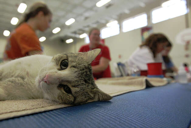 "A sedated cat lays on a recovery table after a surgical procedure at SNIPSA's The Big Fix free spay and neuter clinic at Miller's Pond Community Center on Saturday, Mar. 2,  2013. Over 250 pets were taken in at the clinic that was co-sponsored by the city and by SNIPSA. Veterinarians, vet techs and volunteers converted a gym into a make-shift animal surgical hospital taking in cats and dogs from the area. Veterinarians Shannon and Bob Espy started the program in 2005 in San Antonio. More clinics are planned for the year and pet owners can find information from SNIPSA.org or through the city's Animal Care Services website. The next clinic is planned for April and July according to Espy. SNIPSA's mission is to ""rescue, rehabilitate and re-home adoptable animals"" and ""encourage responsibility within the pet owning population"" according to the website. Photo: Kin Man Hui, San Antonio Express-News / © 2012 San Antonio Express-News"