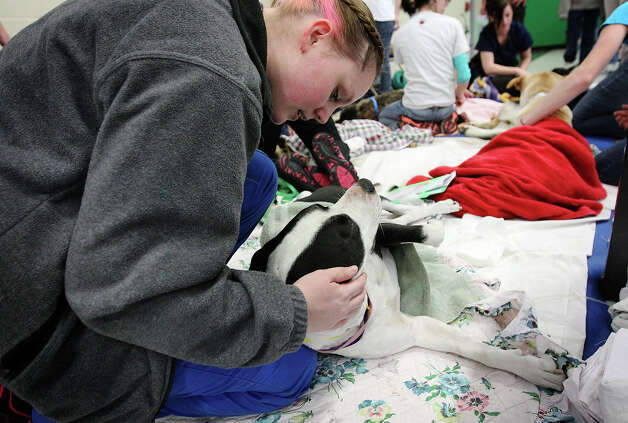 "Volunteer vet tech Liz Reuter comforts a dog named Oreo in the recovery area after the dog received a spaying procedure at SNIPSA's The Big Fix free spay and neuter clinic at Miller's Pond Community Center on Saturday, Mar. 2,  2013. Over 250 pets were taken in at the clinic that was co-sponsored by the city and by SNIPSA. Veterinarians, vet techs and volunteers converted a gym into a make-shift animal surgical hospital taking in cats and dogs from the area. Veterinarians Shannon and Bob Espy started the program in 2005 in San Antonio. More clinics are planned for the year and pet owners can find information from SNIPSA.org or through the city's Animal Care Services website. The next clinic is planned for April and July according to Espy. SNIPSA's mission is to ""rescue, rehabilitate and re-home adoptable animals"" and ""encourage responsibility within the pet owning population"" according to the website. Photo: Kin Man Hui, San Antonio Express-News / © 2012 San Antonio Express-News"