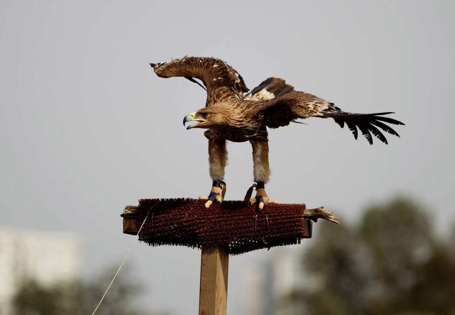 An injured Eastern Imperial Eagle prepares to fly, tethered by a 70 meter long line tied up to its legs in an open field at Ariel Sharon Park, near Tel Aviv, Israel, Sunday. Photo: AP