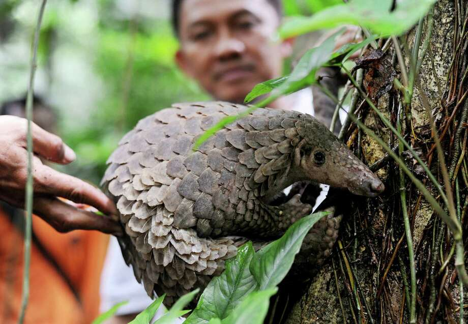 A pangolin is released into the wild by Natural Resources Conservation Agency (BKSDA) officials at a conservation forest in Sibolangit, North Sumatra, Indonesia, Friday, March 1, 2013. The anteater is part of 128 pangolins confiscated by customs officers from a smuggler's boat off Sumatra island as it was heading for Malaysia last week. Photo: AP