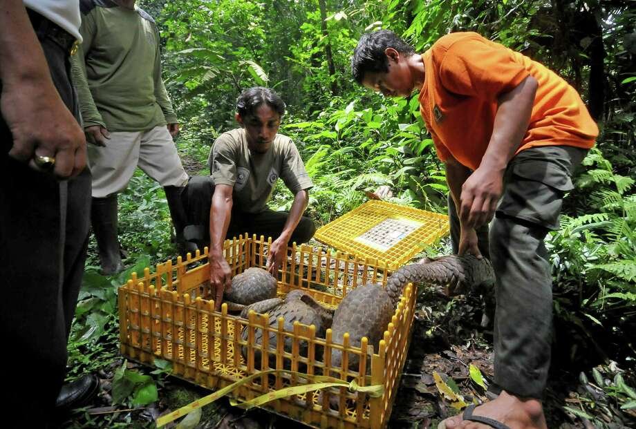 Natural Resources Conservation Agency (BKSDA) officials release pangolins into the wild at a conservation forest in Sibolangit, North Sumatra, Indonesia, Friday, March 1, 2013. The anteaters are part of 128 pangolins confiscated by customs officers from a smuggler's boat off Sumatra island as it was heading for Malaysia last week. Photo: AP