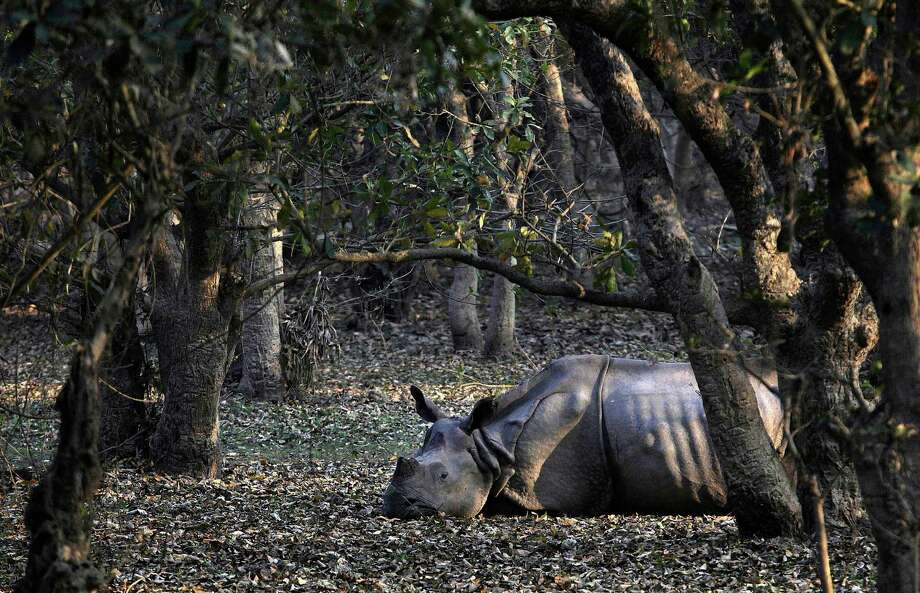 An injured Indian one-horned rhinoceros rests at the Pobitora Wildlife Sanctuary, about 55 kilometers (34 miles) east of Gauhati, India, Thursday, Feb. 28, 2013. The rhinoceros was attacked with a spear by local villagers when it came out of the sanctuary in search for food. Pobitora is famous for its Indian one-horned rhinos, where tourists come from all over the world in large numbers every year. Photo: AP