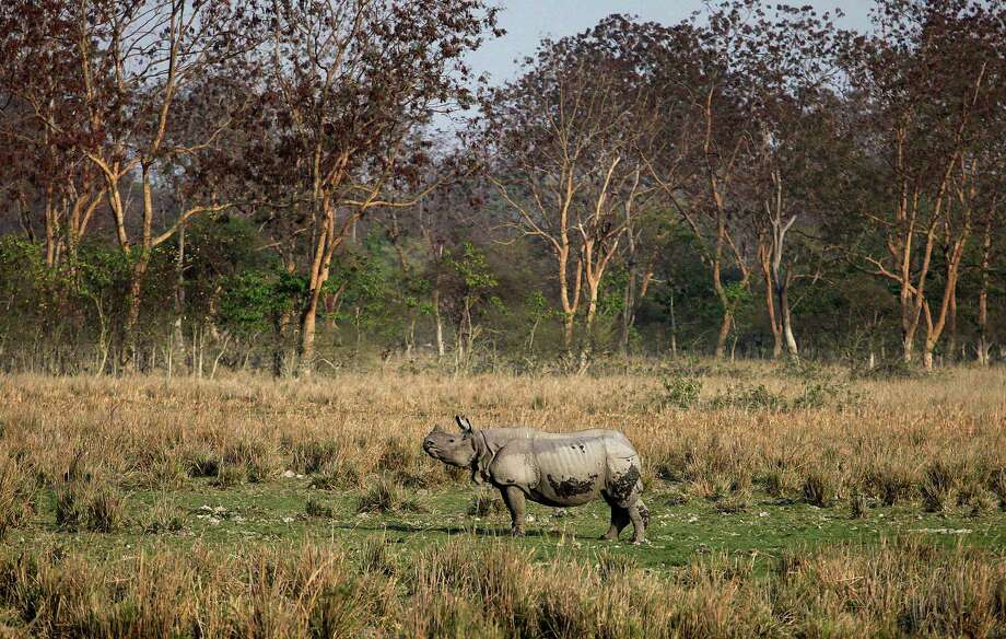 A one-horned rhinoceros stands at the Pobitora Wildlife Sanctuary, about 55 kilometers (34 miles) east of Gauhati, India, Thursday, Feb. 28, 2013. Pobitora has the highest density of rhino population in the world. Photo: AP