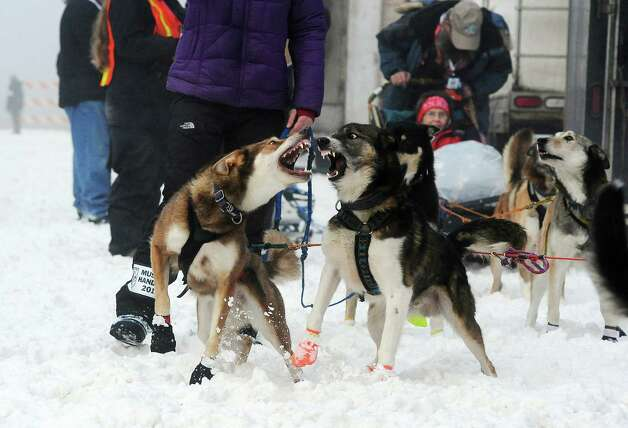 A pair of Michelle Phillips' team dogs prepare at the ceremonial start of the Iditarod Trail Sled Dog Race on Saturday, March 2, 2013, in Anchorage, Alaska. The competitive portion of the 1,000-mile race is scheduled to begin Sunday in Willow, Alaska. Photo: AP