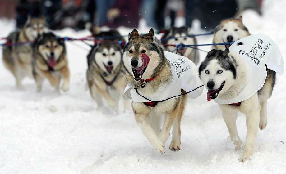 The dog team of Mike Ellis round the corner at 4th Avenue and Cordova Street during the ceremonial start of the Iditarod Trail Sled Dog Race on Saturday, March 2, 2013, in Anchorage, Alaska. The competitive portion of the 1,000-mile race is scheduled to begin Sunday in Willow, Alaska. Photo: AP
