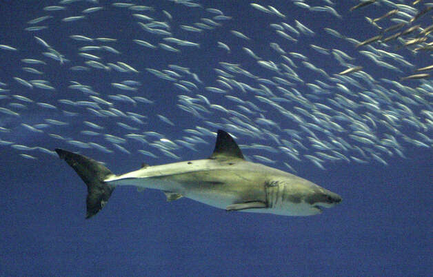 "In this March 10, 2005 file photo, a great white shark is photographed in captivity as it swims in the ""Outer Bay"" exhibit at the Monterey Bay Aquarium in Monterey, Calif. Great white sharks off the coast of California are set to enjoy greater protection, as state officials consider whether to add the predator to California's list of endangered species. Photo: AP"