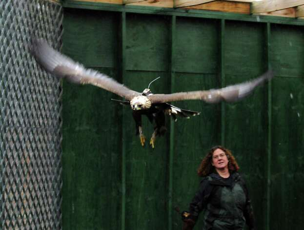This photo taken Feb. 26, 2013 shows Wendy Perrone of the Three Rivers Avian Center watching, a year-old golden eagle take a lap around TRAC's flight barn to see how secure its new transmitter harness is. Photo: AP