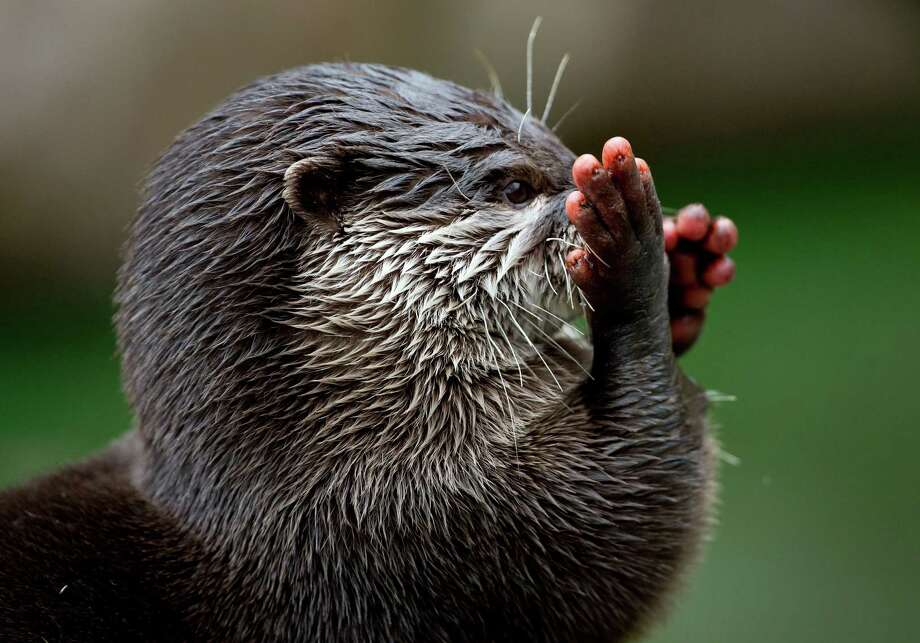Asian small-clawed otter (Aonyx cinerea) plays in its compound at an animal park in Hamburg, northern Germany Thursday, Feb. 28, 2013. Photo: AP